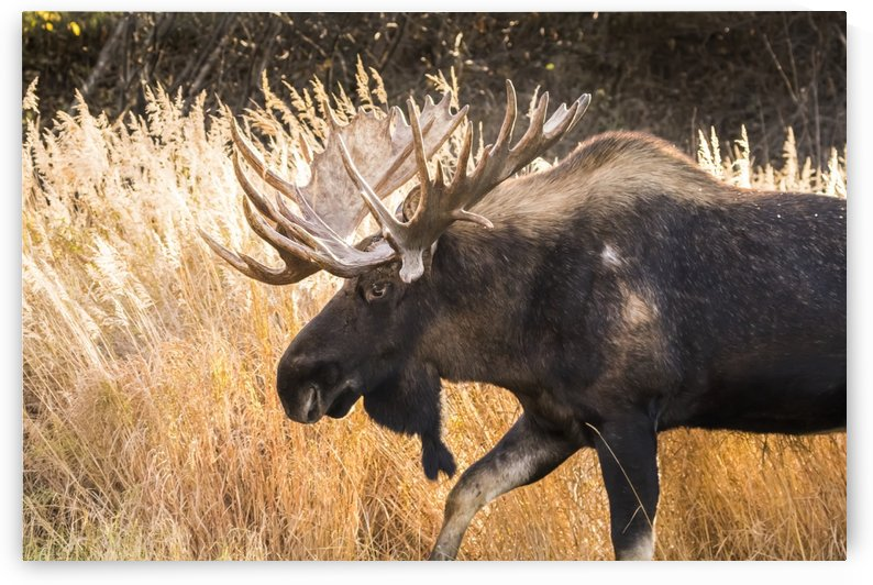 Bull moose (alces alces) with antlers, South-central Alaska; Anchorage, Alaska, United States of America by PacificStock