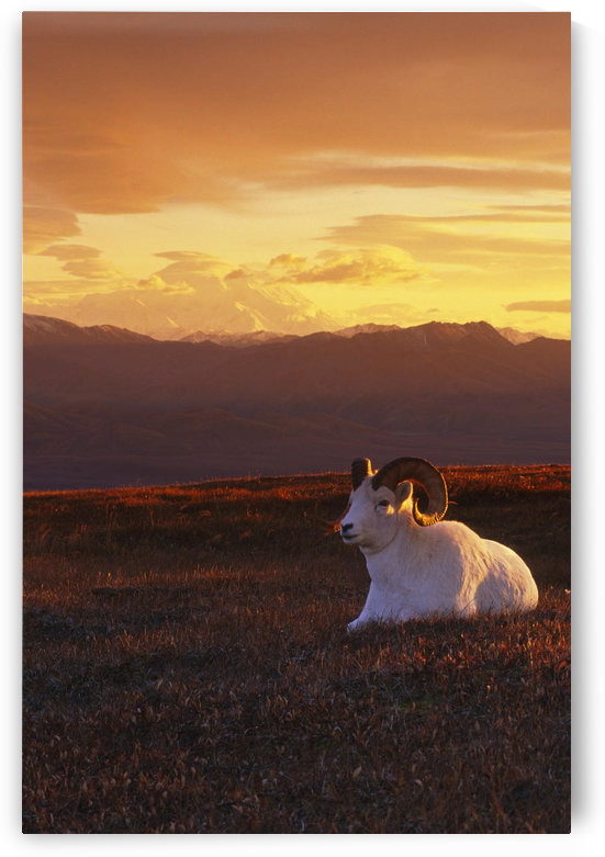 Ram Dall Sheep At Sunset In Front Of Mckinley Denali Np by PacificStock