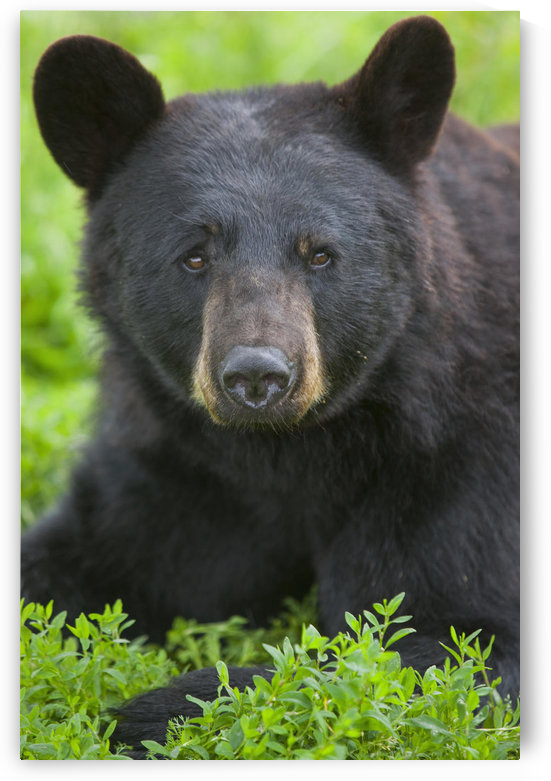 Portrait Of A Black Bear At The Alaska Wildlife Conservation Center, Southcentral Alaska, Summer. Captive by PacificStock