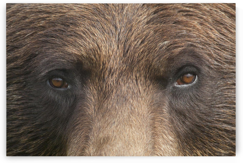 Extreme Close Up Of A Female Brown Bear's Face At The Alaska Wildlife Conservation Center, Southcentral Alaska, Summer. Captive by PacificStock