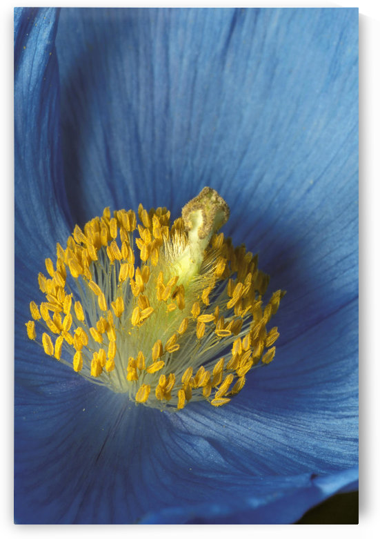 Close Up Detail Of Blue Poppy by PacificStock