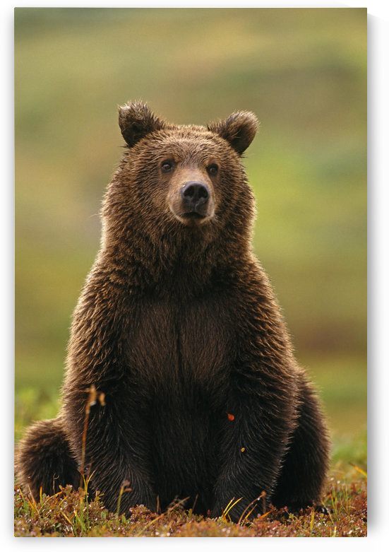 Grizzly Bear Near Hwy Pass Denali Natl Park Interior Ak Summer Portrait by PacificStock