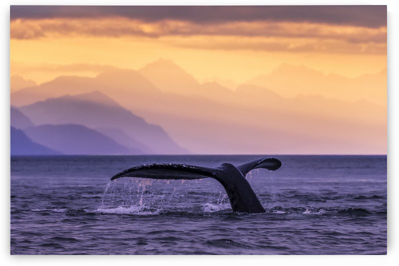 Humpback Whale (Megaptera novaeangliae) at sunset, Lynn Canal, Chilkat Mountains, Inside Passage, near Juneau; Alaska, United States of America by PacificStock