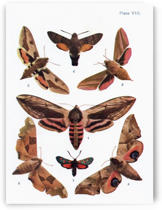 Different types of moths. Illustration by W.S.Furneaux. From the book Butterflies, Moths and Other Insects and Creatures of the Countryside. Published 1927. by PacificStock