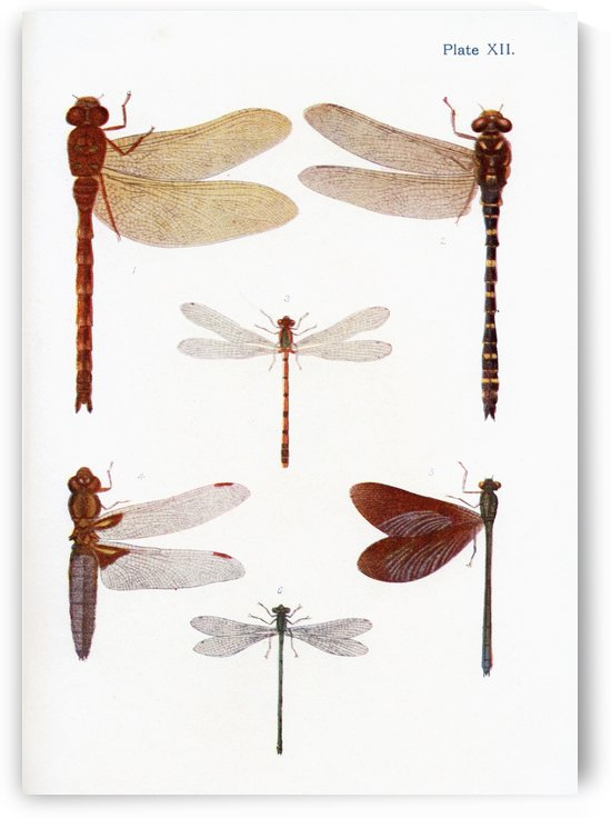 Different types of Dragonflies. Illustration by W.S.Furneaux. From the book Butterflies, Moths and Other Insects and Creatures of the Countryside. Published 1927. by PacificStock