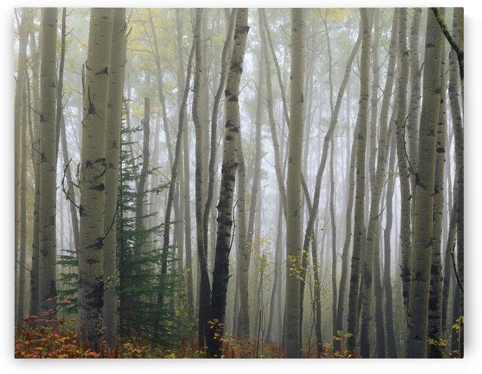 Foggy Aspen Forest Near Ester Interior Ak Autumn by PacificStock