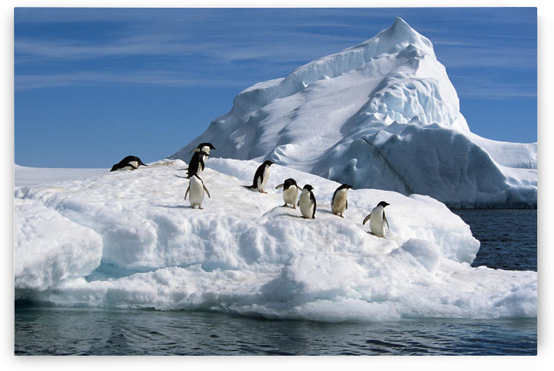 Adelie Penguins Jump From Iceberg Paulet Is Antarctic Summer by PacificStock