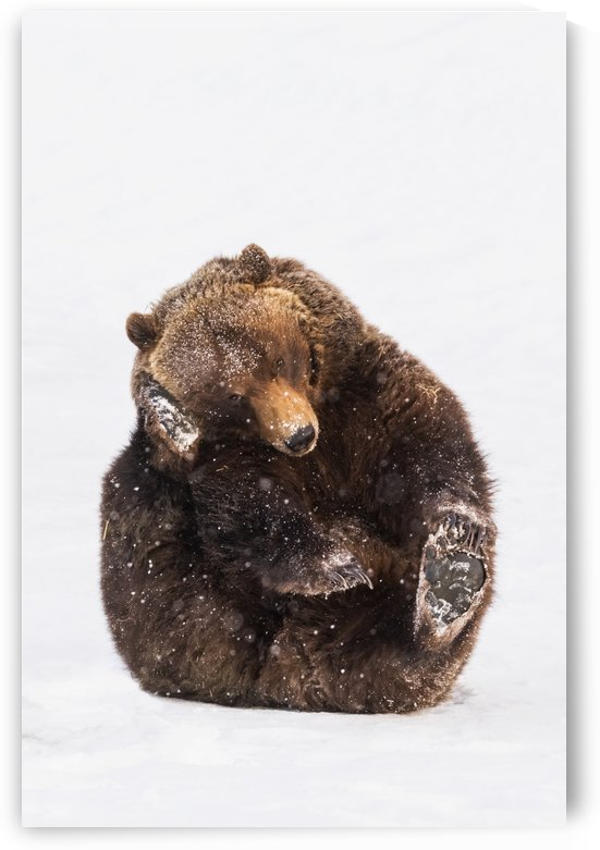 Grizzly bear (ursus arctos horribilis) at the Alaska Wildlife Conservation Center; Portage, Alaska, United States of America by PacificStock