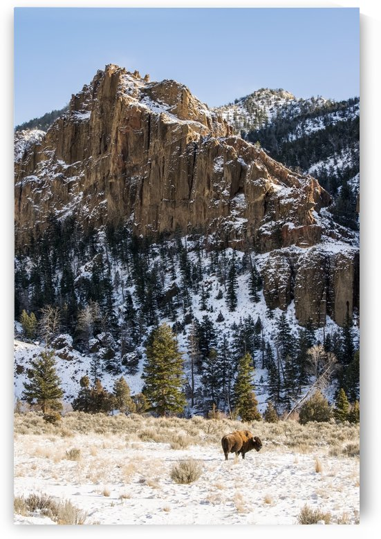 Lone American Bison (bison bison) standing in snowy meadow with rugged cliffs in background, Shoshone National Forest; Wyoming, United States of America by PacificStock