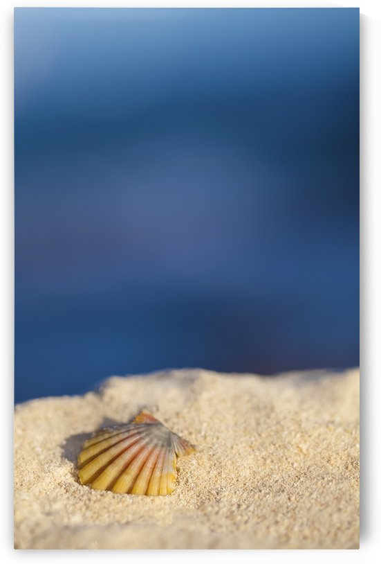 A rare rainbow color Hawaiian Sunrise Scallop Seashell, also known as Pecten Langfordi, in the sand at the beach at sunrise; Honolulu, Oahu Hawaii, United States of America by PacificStock