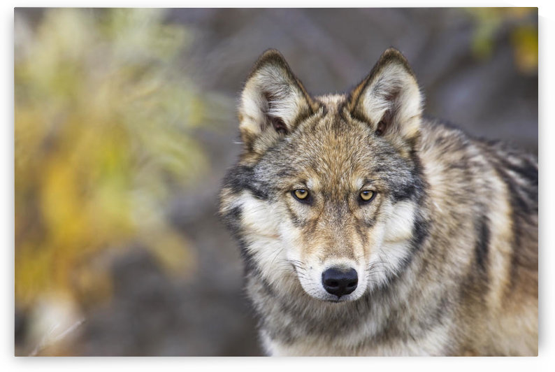 Portrait Of The Alpha Female Grey Wolf (Canis Lupus) Of The Toklat Pack, Denali National Park And Preserve, Interior Alaska, Fall by PacificStock