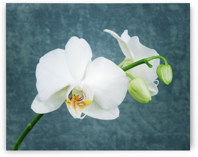 Zen White Orchid by Joy of Life