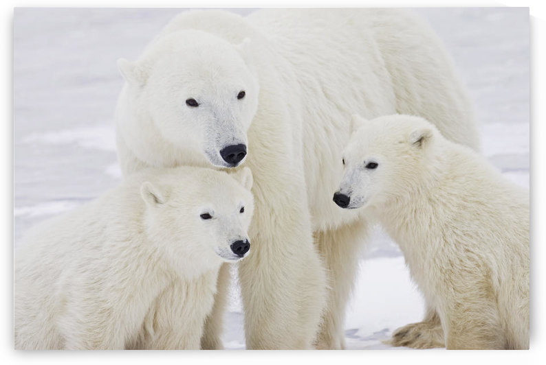 Portrait Of Two Yearling Polar Bear (Ursus Maritimus) Cubs Sitting With Their Mother In Churchill, Manitoba, Canada, Winter by PacificStock