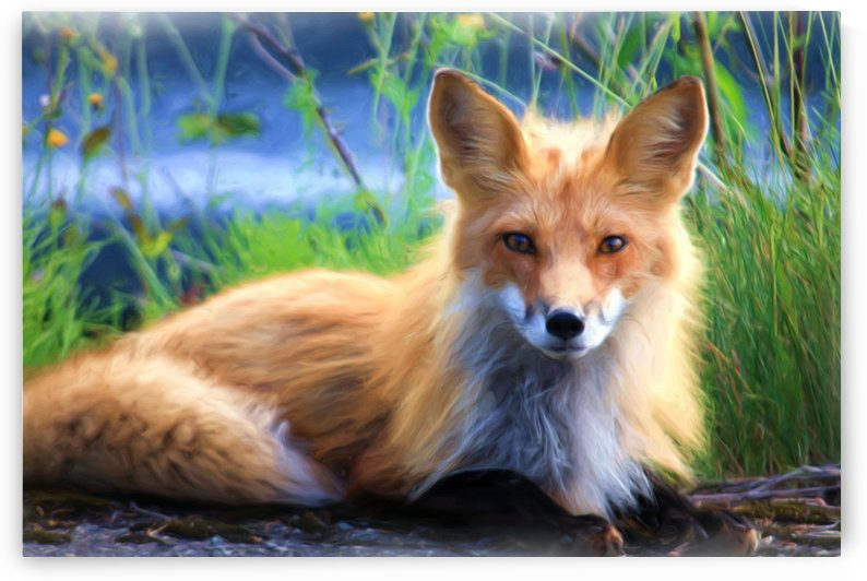 Beautiful Red Fox  Portrait Posing by Joy of Life