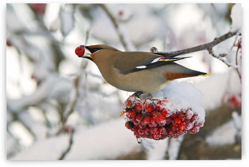 A Bohemian Waxwing Feeding On Mountain Ash Berries, Anchorage, Southcentral Alaska, Winter by PacificStock