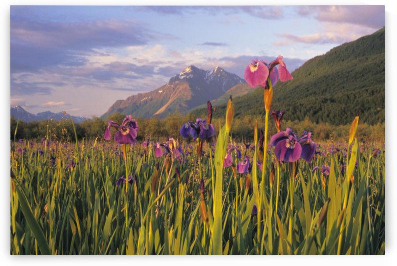 Wild Iris Blooming In Front Of Pioneer Peak Sc Alaska Summer Mat-Su Valley by PacificStock