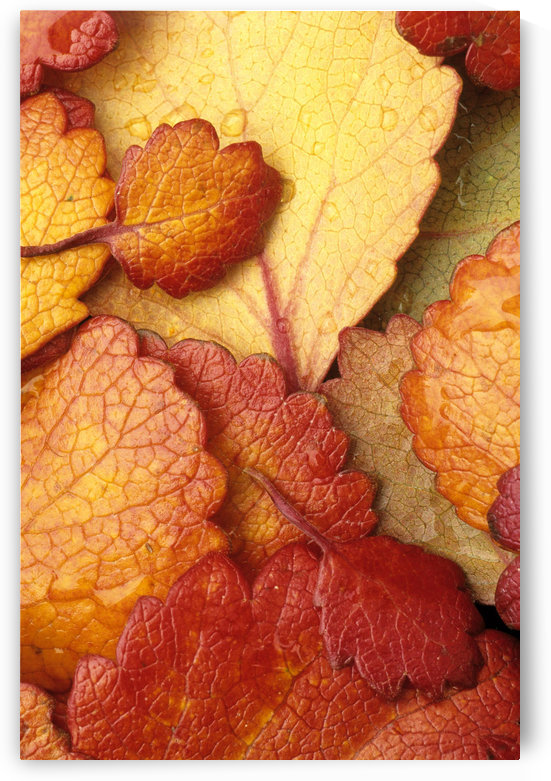 Closeup Of Dwarf Birch Leaves Autumn Ar Alaska Brooks Range Marion Creek by PacificStock