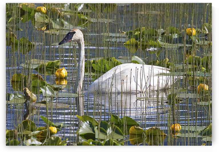 A Trumpeter Swan In A Lily Pond Near Seward, Alaska, Kenai Peninsula, Southcentral, Summer by PacificStock