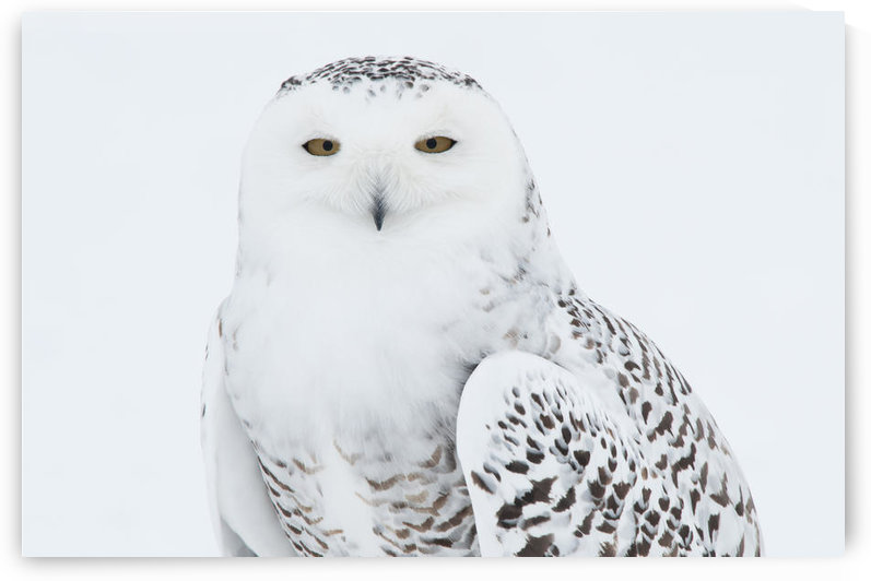Snowy Owl Standing On Snow, Saint-Barthelemy, Quebec, Canada, Winter by PacificStock