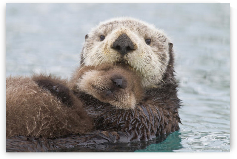 Female Sea Otter Holding Newborn Pup Out Of Water, Prince William Sound, Southcentral Alaska, Winter by PacificStock