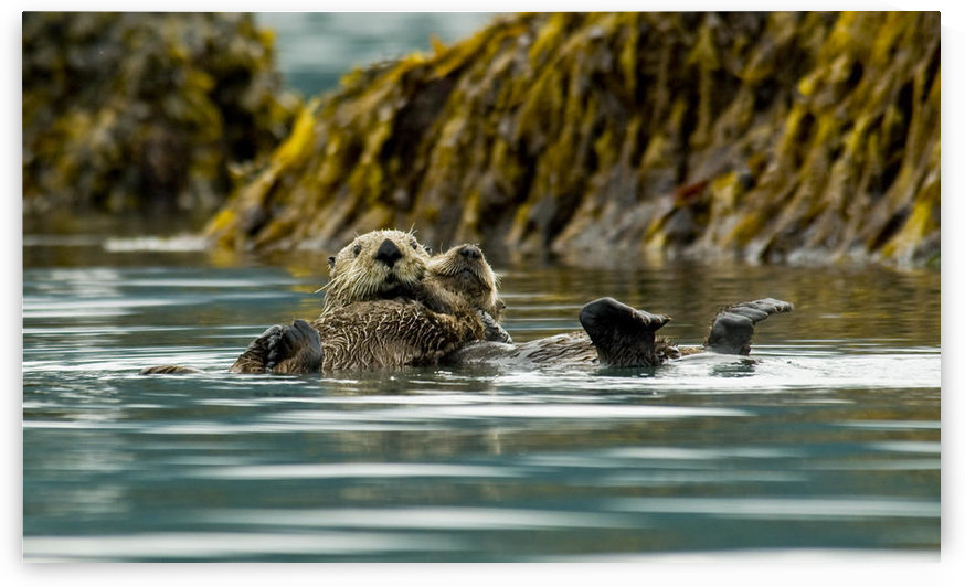 Sea Otter Floating With Pup In Orca Inlet, Off Prince William Sound Near Cordova, Southcentral Alaska, Summer by PacificStock