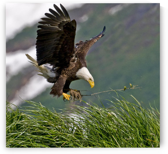 Bald Eagle Gathering Materials For A Nest, Kukak Bay, Katmai National Park, Southwest Alaska, Summer by PacificStock
