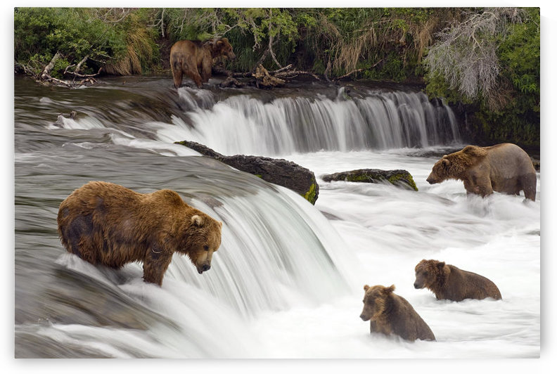 Grizzly Bears Fish At Brooks Falls In Katmai National Park, Alaska by PacificStock