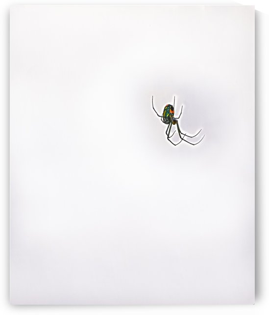 HDR Black Widow Spider in misty isolation by PJ Lalli