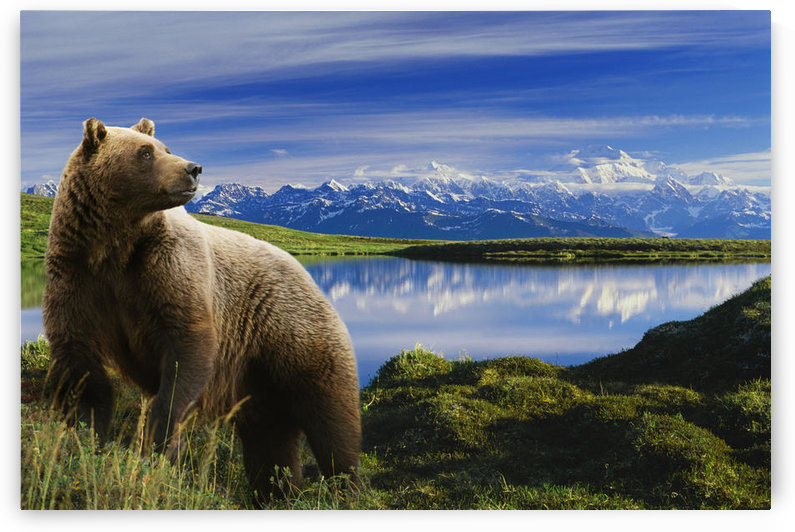 Composite Grizzly Stands In Front Of Lake With Mt. Mckinley In The Background, Alaska Composite by PacificStock