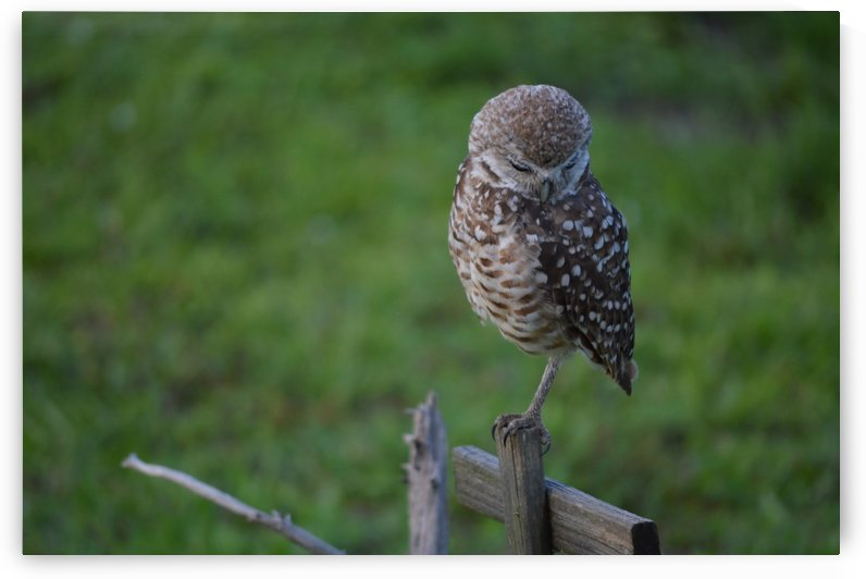 Burrowing Owl by Digitalu Photography