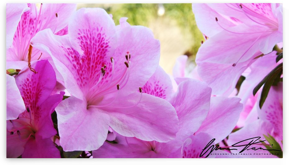 Spring Bloom  by Giovanni Tartaglia