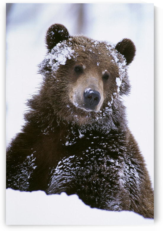 Grizzly Bear Standing With Face Covered In Snow At The Alaska Wildlife Conservation Center In Alaska During Spring by PacificStock