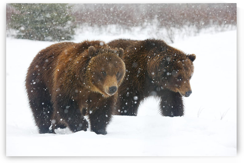 A Pair Of Adult Brown Bears Walk Through Falling Snow At The Alaska Wildlife Conservation Center, Portage, Southcentral Alaska, Winter, Captive by PacificStock