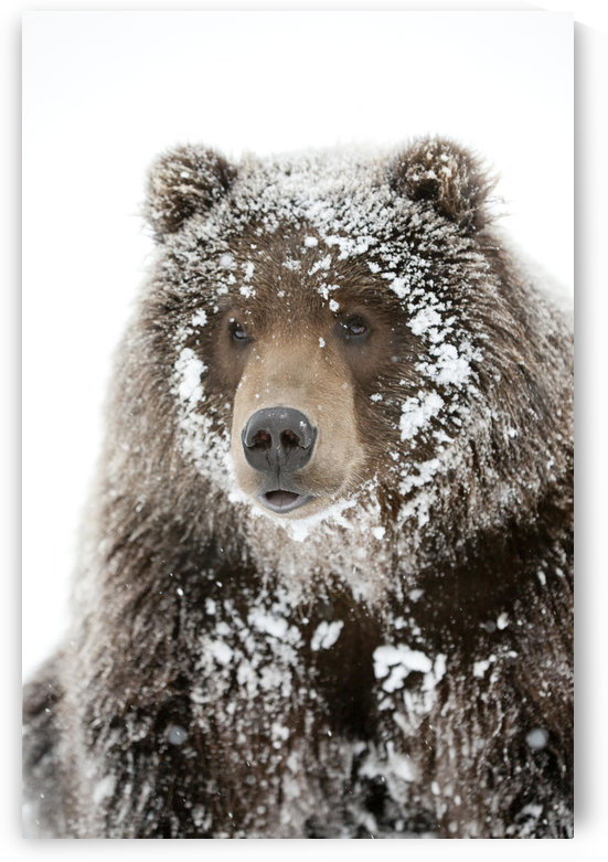 Captive: Male Brown Bear With A Frosty Face Lying On Snow, Alaska Wildlife Conservation Center, Southcentral Alaska, Winter by PacificStock