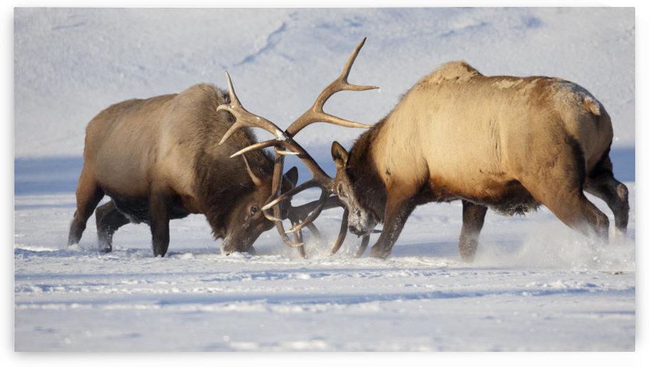 Captive: Roosevelt Elk Fight During Rut Season, Alaska Wildlife Conservation Center, Southcentral Alaska, Winter by PacificStock