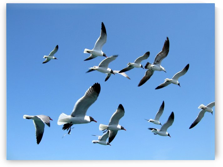Seagulls against a clear blue sky by PJ Lalli