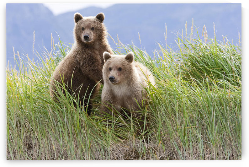 Bear Cubs Standing On A Riverbank At Hallo Bay, Katmai National Park, Alaska by PacificStock