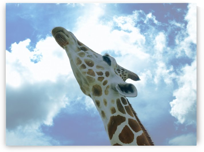 Giraffe looking up and stretching his neck close by PJ Lalli