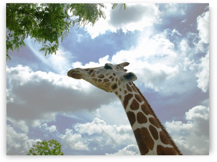 Giraffe looking up and stretching his neck 1 by PJ Lalli