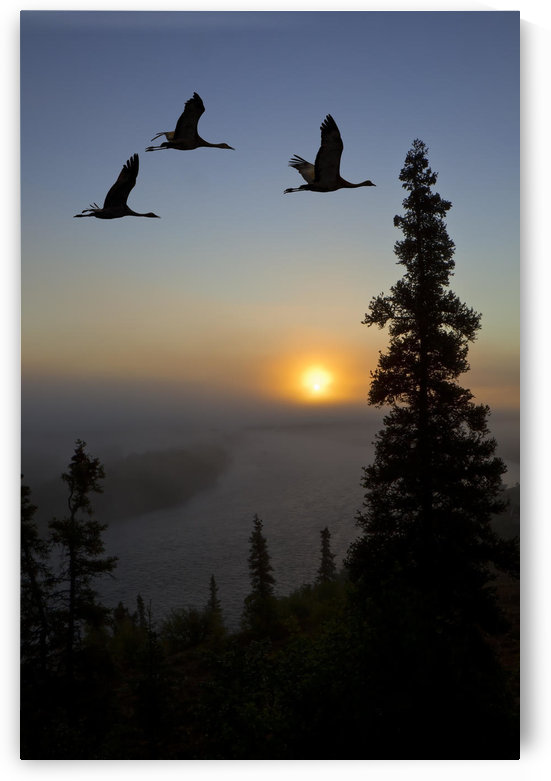 Composite: Sandhill Cranes Take Flight At Sunrise From Their Roosting Area Near Kulik Lake, Katmai National Park, Southwest Alaska by PacificStock