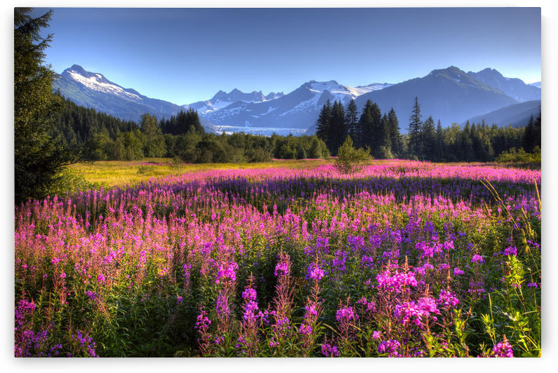 Scenic View Of The Mendenhall Glacier With A Field Of Fireweed In The Foreground, Southeast, Alaska, Hdr Image by PacificStock