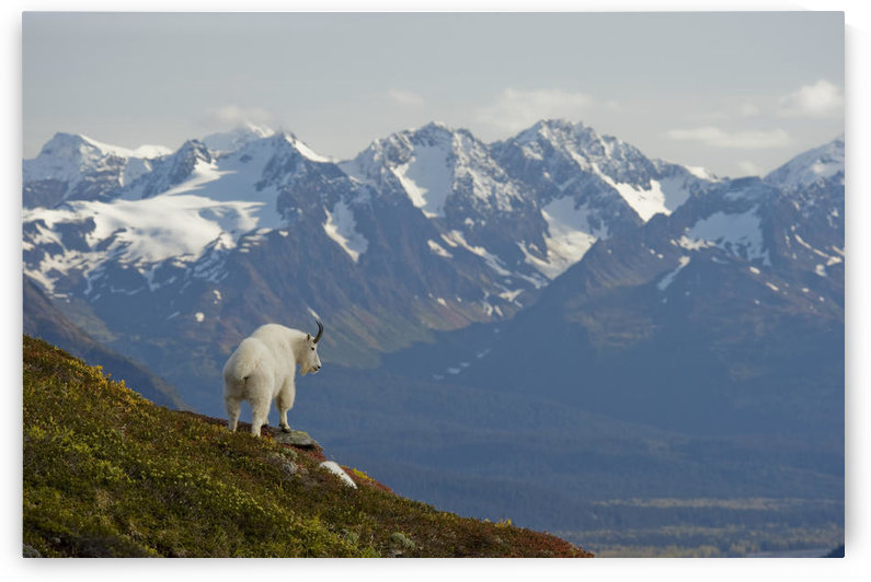 A Mountain Goat Stands On A Ridge With The Scenic Kenai Mountains In The Background During Autumn, Kenai Peninsula, Southcentral Alaska by PacificStock