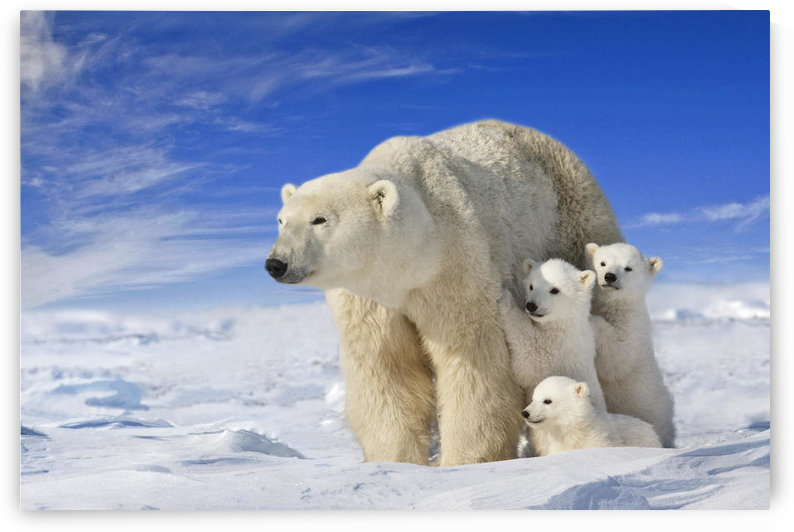 View Of Polar Bear Sow (Ursus Maritimus) With Her Triplet Cubs On The Wind Swept Plains Of Wapusk National Park, Manitoba, Canada, Winter, Composite by PacificStock