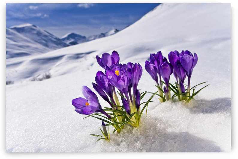 Crocus Flower Peeking Up Through The Snow. Spring. Southcentral Alaska. by PacificStock