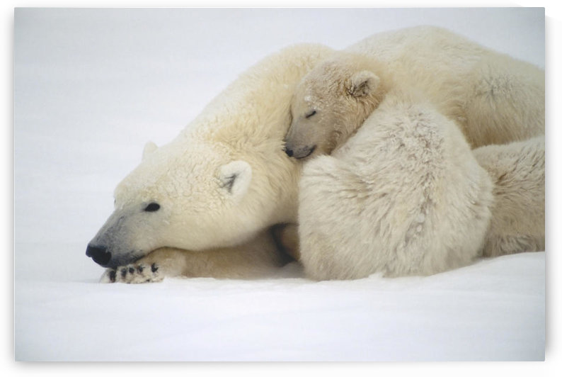 Mother Polar Bear & Cub Huddle In Snow Storm Churchill Canada Winter by PacificStock