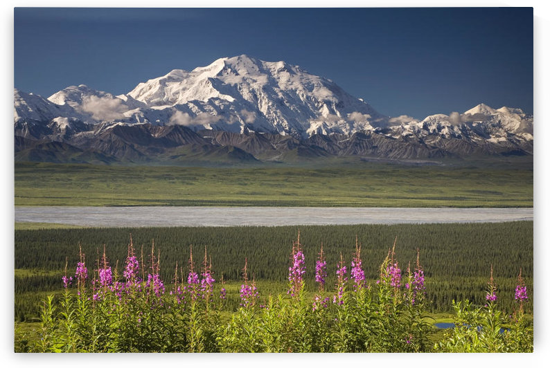 Mt.Mckinley And The Alaska Range With Fireweed Flowers In The Foreground As Seen From Inside Denali National Park Alaska Summer by PacificStock