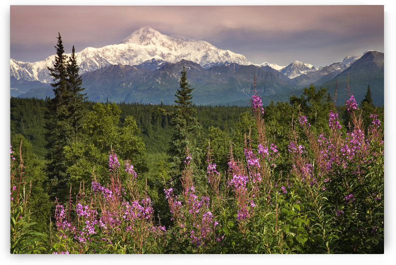 Southside View Of Mt.Mckinley W/Fireweed Southcentral Alaska Summer Along Parks Highway by PacificStock