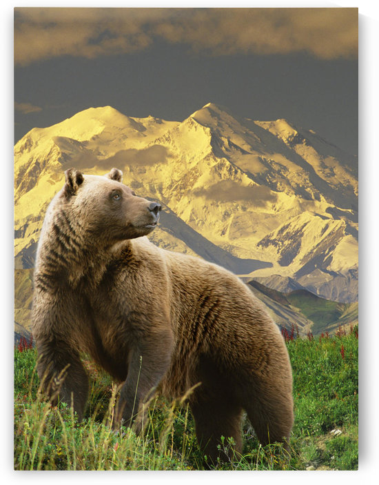Composite Grizzly Stands On Tundra With Mt. Mckinley In The Background, Alaska Composite by PacificStock