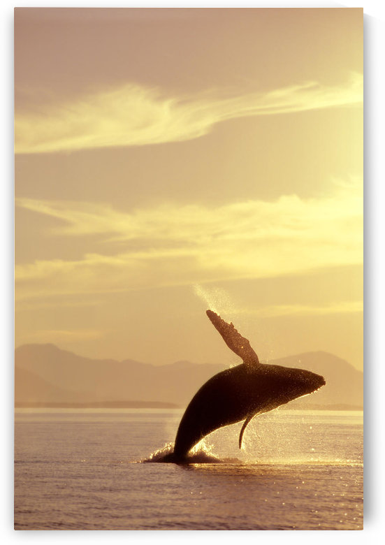 Humpback Whale Breaching In Inside Passage Se Ak Summer Backlit by PacificStock
