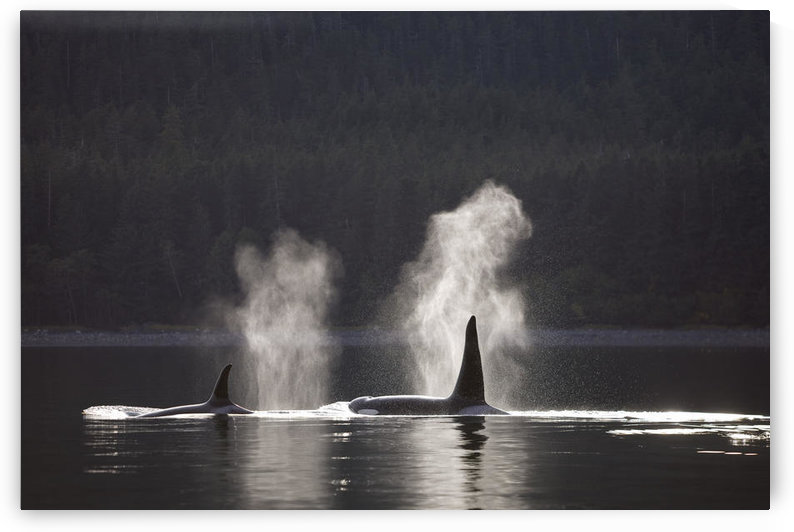 Orca Whales Surface Along A Forested Shoreline In Alaska's Inside Passage, Admiralty Island, Tongass National Forest, Southeast Alaska by PacificStock